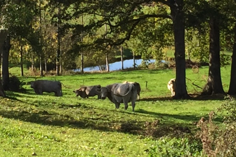 vaches-gite-indre